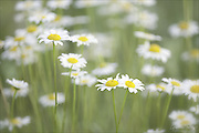 A vista within a field of daisies