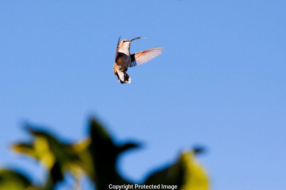 Hummingbirds are the only bird with the remarkable ability to fly backwards and stick out their tongue at the same time.
