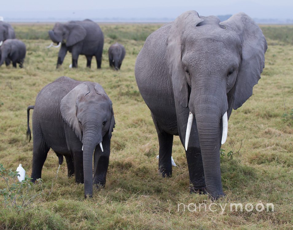 Elephants roam in Amboseli.<br />