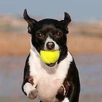 Photos of Frankie the Chihuahua-JackRussell cross playing on the beach at Lancing, West Sussex.