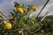 Lemons grow on fertile soil on a smallholding located on the slopes of the Vesuvius volcano, seen in the distance which last erupted in 1945.