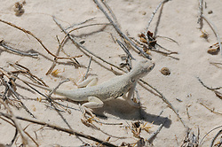 Bleached earless lizard, Holbrookia maculata ruthveni, White Sands National Monument, Alamogordo, New Mexico
