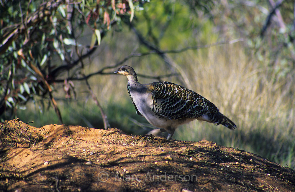Malleefowl, Leipoa ocellata, on a nest mound, South Australia.