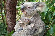 Koala <br /> Phascolarctos cinereus<br /> Mother and seven-month-old joey<br /> Queensland, Australia<br /> *Captive<br /> *Digitally removed distraction in background