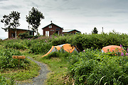 Tents set among wildflowers inside the campground with the rangers cabins at the McNeil River State Game Sanctuary on the Kenai Peninsula, Alaska. The remote site is accessed only with a special permit and is the world's largest seasonal population of brown bears in their natural environment.