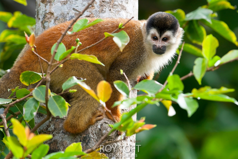 A Central American squirrel monkey sitting on a tree branch, Osa Peninsula, Costa Rica