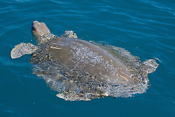 A Flatback turtle (Natator depressus) near Willie Creek, showing evidence of damage by shark, crocodile or propeller.