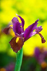 Dutch Iris 'Red Ember'