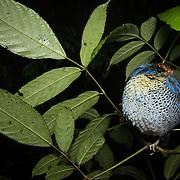 Blue Pitta (Pitta cyanea) male roosting in Kaeng Krachan national park, Thailand