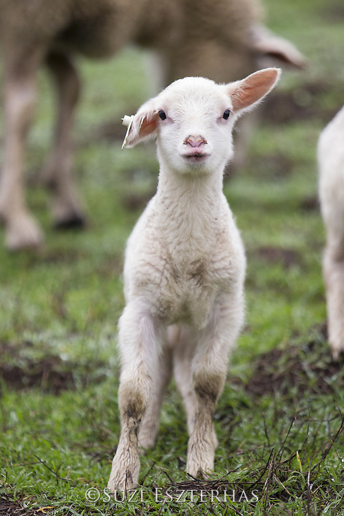 Domestic Sheep <br /> Ovis aries<br /> Lamb<br /> Sonoma County, California