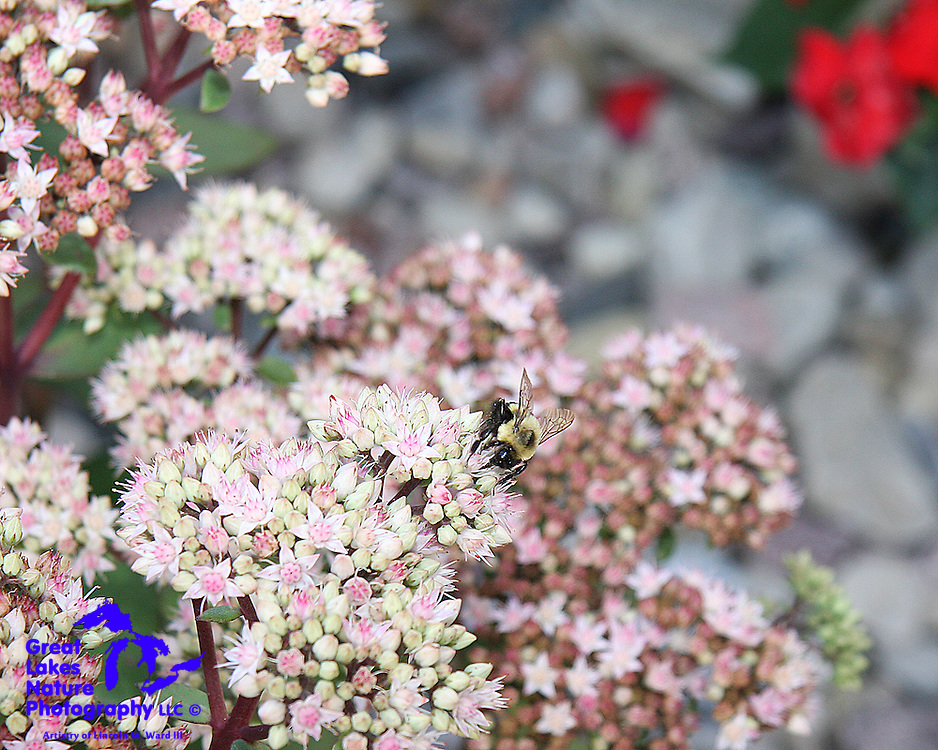 This little bumblebee is very busy gathering nectar from the fresh sedum flowers.