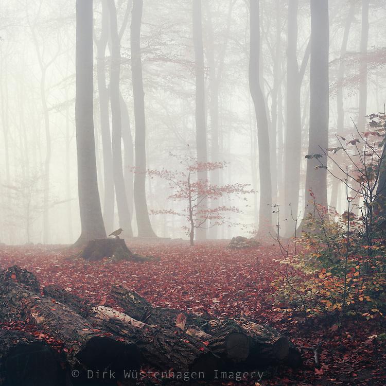 Herbstlicher Buchenwald im Nebel, Wuppertal, Deutschland