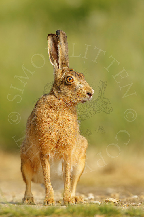 European Hare (Lepus europaeus) adult on farmland track, Norfolk, UK. May.