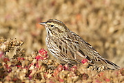 Savannah Sparrow, Bolsa Chica Ecological Reserve, North America