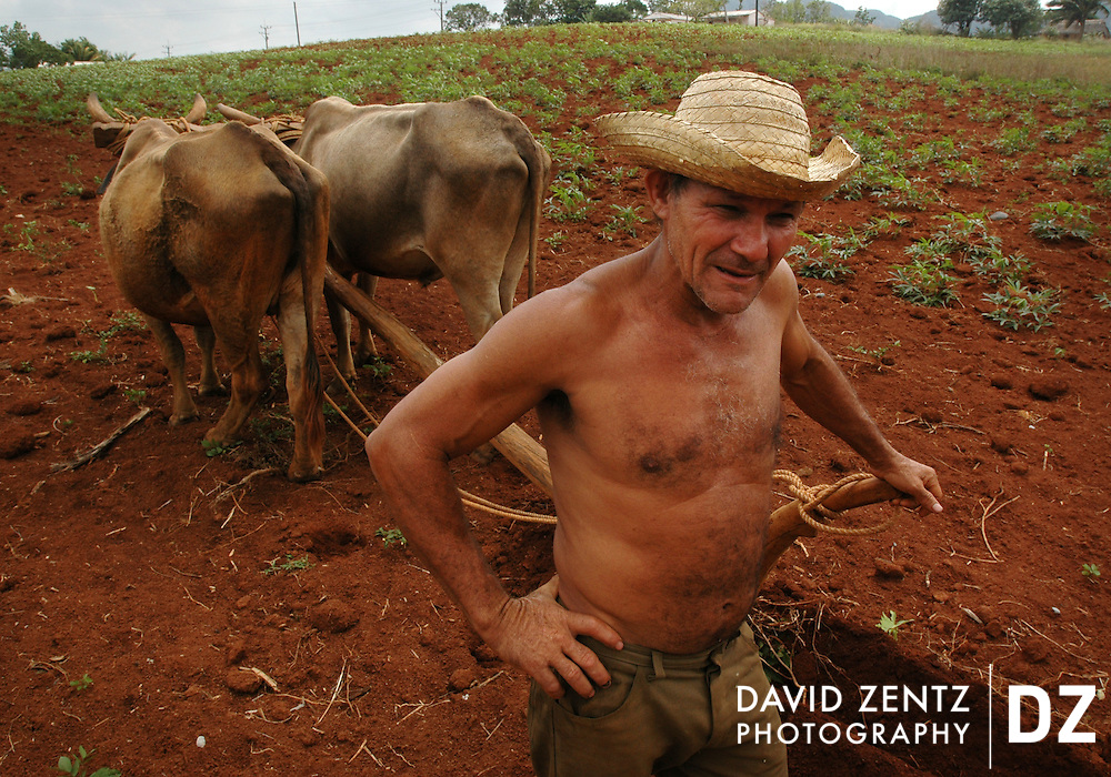 Ireno, a private tobacco and yucca farmer and employee of the local tobacco factory,rests his oxen for a moment while plowing his tobacco field across the road from his rural home near Vinales, Cuba. Vinales is a small town situated in the north-central Pinar del Rio Province, an area known for its agricultural production, particularly tobacco.