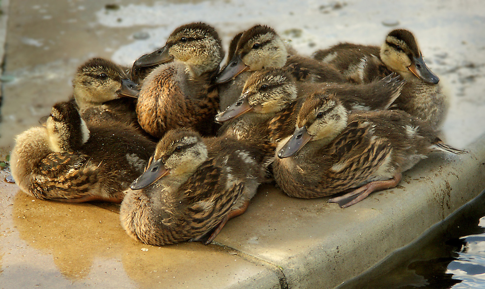 Baby ducks hanging out at the fountain in the Lily Pond area.