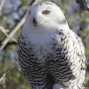 Snowy White Owl ~ Woodward, Ok.
