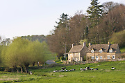 Peaceful village scene of Oxfordshire cottages and Friesian cows, Swinbrook, The Cotswolds, England, United Kingdom