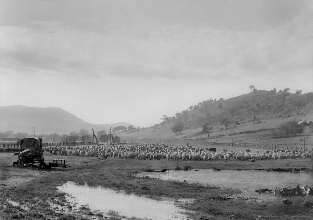 Traveling Sheep, Victoria, Australia, 1930