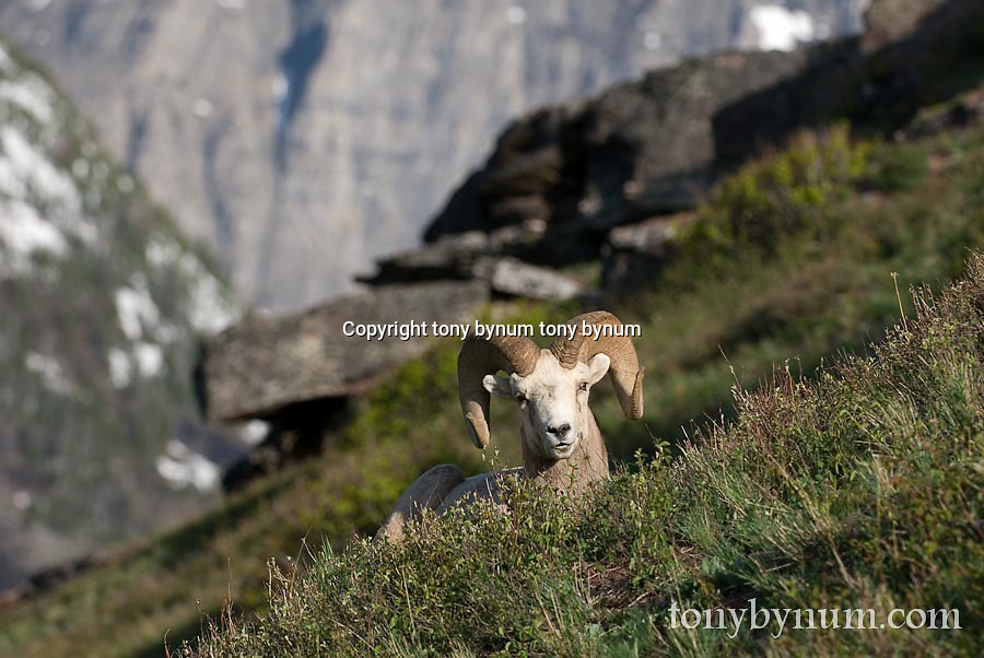 GNP Front wild rocky mountain big horn sheep