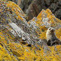 An Antarctic sea lion pup rests on lichen-covered rocks. Exploration at Hercules Bay on the north coast of South Georgia Island.