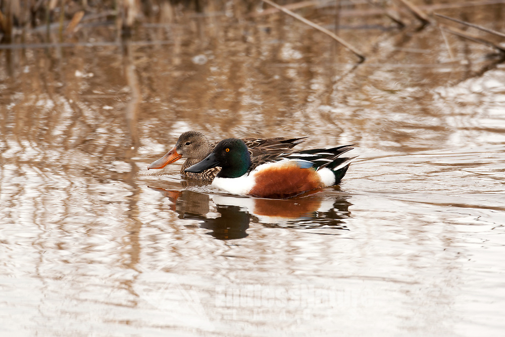 A Northern Shoveler hen and drake swims together it is nesting season in the month of April.