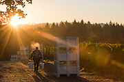 Pinot Noir harvest at Anne Amie Estate Vineyard, Willamette Valley, Oregon