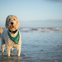 Labradoodle Dogs