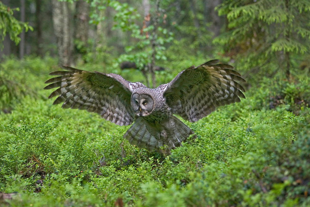 Great Grey owl (Strix nebulosa), Oulu, Finland.