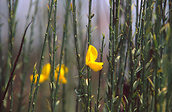 Scotch Broom  (Cytisus scoparius), Mt. St. Helens National Volcanic Monument, Washington, August 2005