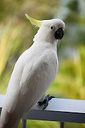 Cockatoo on the balcony