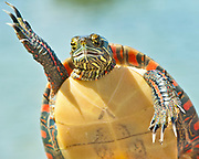 Turtle wave.