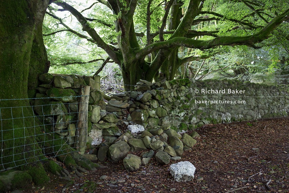 A landscape of fallen stones and boulders forming a boundary in  beech woodland, on 13th September 2018, in Dolgellau, Gwynedd, Wales.