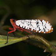 Aphaena dissimilis  Lantern fly, Khao Yai National Park, Thailand.