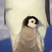 Emperor Penguin (Aptenodytes forsteri) chick at Atka Bay in Antarctica.