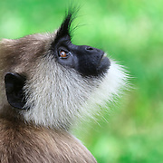 Endangered Sri Lankan subspecies of the tufted gray langur (Semnopithecus priam thersites) having a contemplative moment