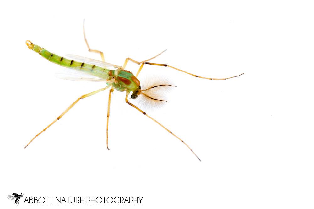 Midge (Chironomus sp.) - male<br /> TEXAS: Jasper Co.<br /> Brookeland/Lake Sam Rayburn @ 505 Co Rd 212<br /> 19.July.2015<br /> J.C. Abbott #2768 &amp; K.K. Abbott
