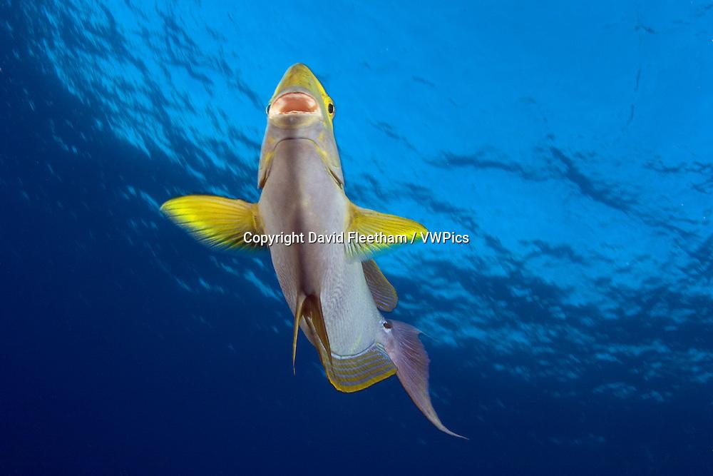 Yellowfin surgeonfish, Acanthurus xanthopterus, Hawaii.