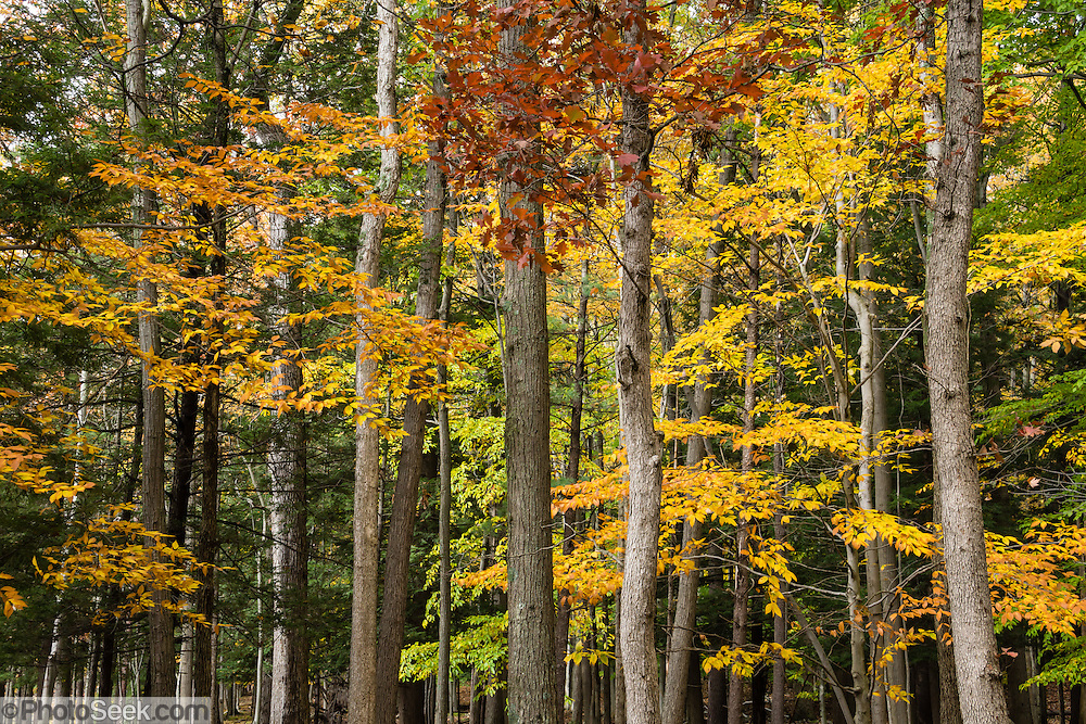 Forest fall colors, Letchworth State Park, Portageville, New York, USA. The large park stretches 17 miles between Portageville and Mount Morris in the state of New York, USA. Drive or hike to many scenic viewpoints along the west side of the gorge. Geologic history: in the Devonian Period (360 to 420 million years ago), sediments from the ancestral Appalachian mountains eroded into an ancient inland sea and became the bedrock (mostly shales with some layers of limestone and sandstone plus marine fossils) now exposed in the gorge. Genesee River Gorge is very young, as it was cut after the last continental glacier diverted the river only 10,000 years ago. The native Seneca people were largely forced out after the American Revolutionary War, as they had been allies of the defeated British. Letchworth's huge campground has 270 generously-spaced electric sites.