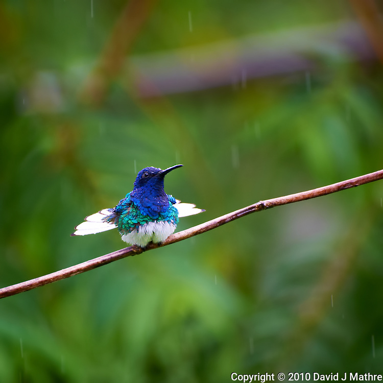 Hummingbird in the Rain, Asa Wright Nature Center, Trinidad. Image taken with a Nikon D3s and 70-300 mm VR lens (ISO 640, 300 mm, f/5.6, 1/320 sec).