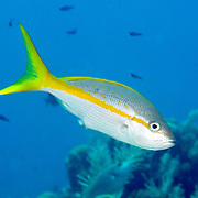 Yellowtail Snapper feed in open water above reefs in Tropical West Atlantic; picture taken Grand Cayman.