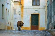 PRT, Portugal: Streunender Hund, Haushund (Canis lupus familiaris), läuft durch die Straßen von Armacao de Pera, Algarve | PRT, Portugal: Stray dog, domestic dog (Canis lupus familiaris), walking through the streets of Armacao de Pera, Algarve |