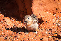 Often mistaken as a chipmunk, the white-tailed antelope squirrel is a common desert ground squirrel found acrosss most of the American Southwest including Baja California. They are diurinal, but escape the heat of the day in their burrows.