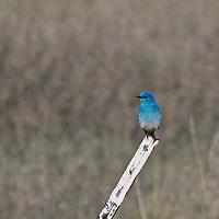 A montana blueburd give life to a lifeless backdrop of early spring near Missoula.