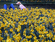 Dog and man enjoy the afternoon spring sun and an endless carpet of daffodills at the Cylburn Arboretum in Baltimore.