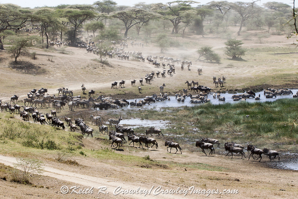 Wildebeest and Zebras migrating in East Africa