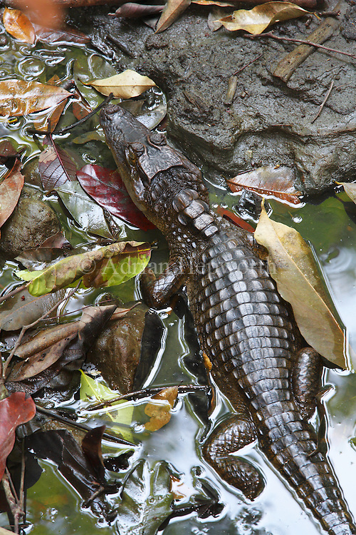 Spectacled Caiman (caiman crocodilus) in semi-dry stream bed.  Corcovado National Park, Osa Peninsula, Costa Rica. <br />