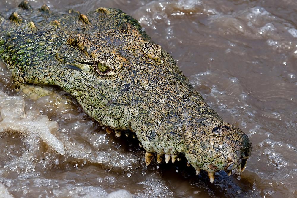(Crocodylus niloticus) Serengeti National Park, Tanzania