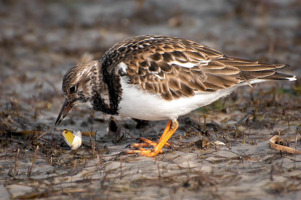 A ruddy turnstone taking advantage of the low tide and devouring the easily accessible clams with relish in Panama City, Florida. Incredibly, these little birds live and breed in the Arctic, and travel an incredible distance for the winter.