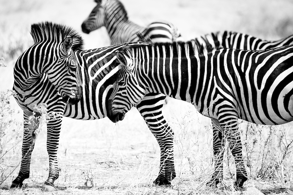 Zebra in Ruaha National Park, Tanzania